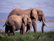 Elephants with Lake Amboseli in the background